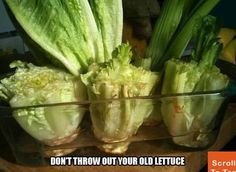 NEVER Buy Lettuce Again!
