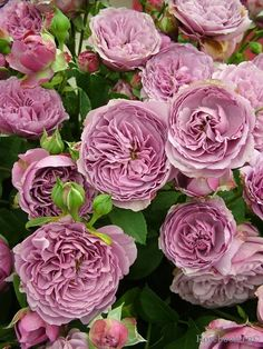 'Lavender Ice' | Floribunda Rose. Tantau, 2007