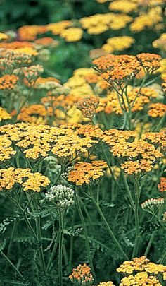 Achillea is a beautiful, smal flowering shrub. Blooms brightly in the spring and summer. Just needs deadheading and it'll keep growing and blooming. Dry Garden, Garden Plants, Deadheading, Orange Plant, Achillea Millefolium, Guernsey, House Beds, Colorful Garden, Terra Cotta