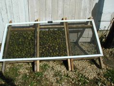 Black Walnut harvesting!  This is the most informative page I have found thus far.  #walnut #gardenchat