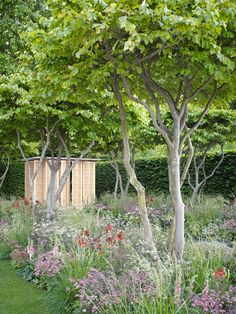 Multi-stemmed hornbeam? with naturalistic under planting. laurent-perrier garden at rhs chelsea flower show 2011