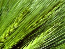 Barley spikes Royalty Free Stock Images