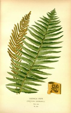 Favourite flowers of garden and greenhouse /by Edward Step | Vol. 4 1897 | Ostrich Fern