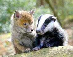 Baby friends : Fox  Badger