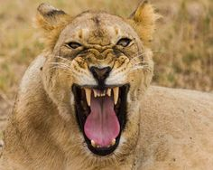 Tigers: Lions 071820160908 #lion #animal #endangered #predator #majestic