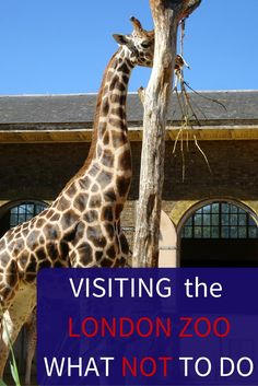 Visiting London Zoo Tips- This is a list of things to do at the London zoo and a video of what NOT to do from an American expat living in London