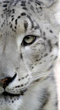 Impresionante foto de un leopardo de las nieves.