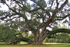 Seven Brothers Oak (Lastrapes Oak) Washington, Louisiana