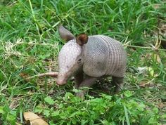 A nine banded armadillo supposedly always gives birth to identical quadruplets...neat!
