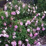 Taif Rose (Rosa damascena trigintipetala)-India is credited with being the first nation to discover how to extract the lovely soul of the rose-its essence in rosewater,& attars.The Damask rose may have been the first, though it is difficult to verify, as one ancient source lists over 70 varieties of roses grown in India in what seems to have been a rose-obsessed culture! One can only approve of their impeccable taste!