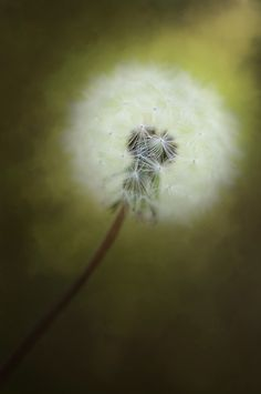 Dandelion fine art photography, floral photo print, flower fine art print, green wall art, wall decor print,  botanical art photography