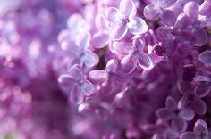 Lilacs <3