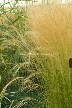 Pin by Silvia Sohn - Stipa tenuissima 'Pony Tails' ornamental grass aka Nasella, Mexican Feather Grass Garden Landscape Design, Garden Landscaping, Mexican Feather Grass, Stipa, Lawn Care Tips, Splendour In The Grass, Photo Images, Flower Farm, Ornamental Grasses