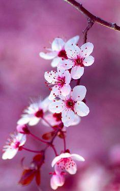 Flor de cerezó.