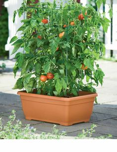 6. Favorite summer food? Home-grown, vine ripened tomatoes! And I get a huge crop of tomatoes using container gardening.