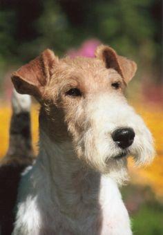 Fox Terrier. Cabezas Reales 17.20