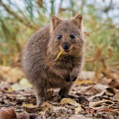 A STAMP ISSUED ON THIS BEAUTIFUL MARSUPIAL QUOKKA THE HAPPIEST - 15 photos that prove quokkas are the happiest animals in the world