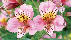 Alstroemeria (Peruvian lily)