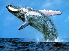 blue whales really are magnificent Big Whale 28cc3477b5