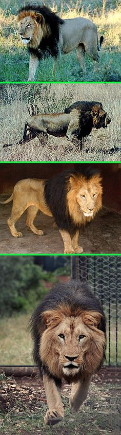 Real - Ethiopian Black Maned Lions - These are images of the Ethiopian black maned lions both in the wild and captivity. They are being considered a unique sub-species and efforts are underway to protect and establish breeding programs. http://www.ethiopianstories.com/feature-stories/262-the-story-of-ethiopia-and-the-black-lion