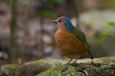 The Blue-rumped Pitta (Hydrornis soror) is a species of bird in the Pittidae family. It is found in Cambodia, China, Laos, Thailand, and Vietnam.