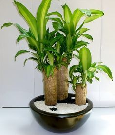El palo de Brasil, también conocido como árbol de la felicidad o palo de agua es una planta perfecta para acompañar tu jardín o como decoración de interiores. Ademas de hermosa y practica (requiere...