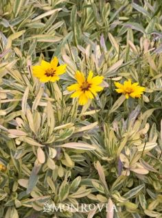 Monrovia's Tequila Sunrise Tickseed details and information. Learn more about Monrovia plants and best practices for best possible plant performance.