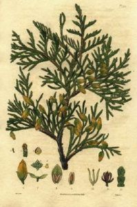 Thuja Herb, Uses, Health Benefits and Side Effects