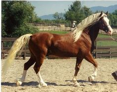TUSCANI ARAMISS Derwen Prince Charming x Derwen Abigail Imported Section D stallion 14.3hh.