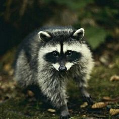 North American masked racoon.