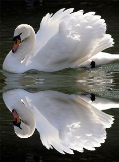 Swan reflections.....Stunning
