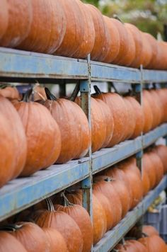 Post Harvest Pumpkin Storage: Learn How How To Store Pumpkins - Growing pumpkins is fun for the entire family. When it's time to harvest the fruit, pay special attention to the condition of the pumpkins to make sure the time is right. Harvesting pumpkins at the right time increases the storage time. Let's learn more about storing pumpkins once harvested.