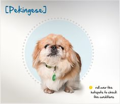 Did you know the Pekingese is one of the oldest breeds of dog in the world,  and for centuries they could only be owned by royal members of the Chinese Imperial Palace? Read more about this breed by visiting Petplan pet insurance's Condition Checker!