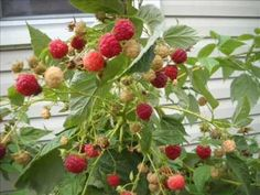 Plant Raspberries in the shade and they will thrive better. Everbearing Raspberries...Exceeding Expectations