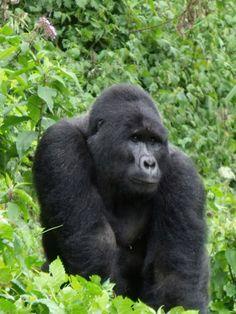 Mountain Gorillas | TIA Safaris