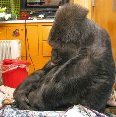 This Gorilla Had A Special Bond With Robin Williams And Was Distraught Over His Death