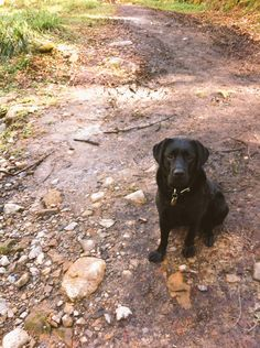 Serious face from Molly on walk the other day - there better be biscuits for this posing human! #labrador #dogwalking