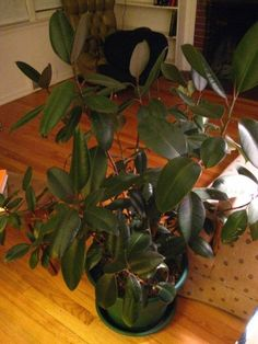 Rubber Plant Losing Leaves - Why Do Leaves Drop Off A Rubber Plant