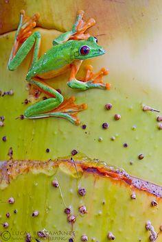 Gliding Leaf Frog