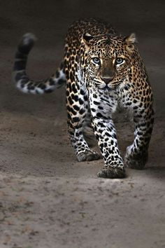 walking leopard staring at you