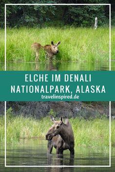 Elche im Denaili Nationalpark in Alaska. Auch Grizzlys, Karibus und sogar einen Wolf haben wir dort getroffen. Mehr Fotos & Infos zu den Bustouren findest du auf unserem Blog.