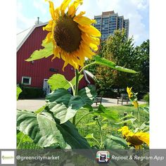 Repost from @greencitymarket using @RepostRegramApp - 3 days!  Reason #3 to love GCM:  The Edible Gardens is our 5,000 square-foot urban agriculture project! The gardens are free and open to the public Wednesdays, Thursdays and Saturdays 9:30am-noon. Stop by and see what is growing!