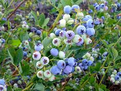 The blueberries are ripening late this year. Last year the first pick was ready by the time I got home from Portland ; this year, I just fi. Canned Blueberries, Canning Food Preservation, Canning Vegetables, Water Bath Canning, Canned Food Storage, Cabbage Soup Recipes, Fruit Recipes, Delicious Recipes