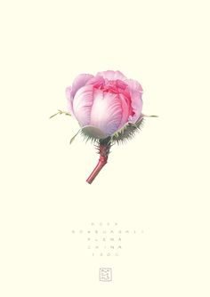 Rosa roxburghii, 'Plena' (China) © 2005 Regine Hagedorn, watercolor on paper
