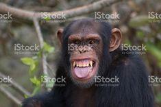 Image result for chimpanzee smiling Chimpanzee, Animals, Image, Animales, Animaux, Animal, Animais