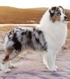 Is Your Australian Shepherd Driving You Crazy? Remove All The STRESS of Owning an Australian Shepherd: Dog Behaviour Breakthrough! Australian Shepherd Puppies, Aussie Puppies, Cute Dogs And Puppies, Doggies, Blue Merle Australian Shepherd, Corgi Puppies, Names For Puppies, Aussie Shepherd Puppy, Cute Big Dogs