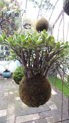 A great jade plant in a moss ball