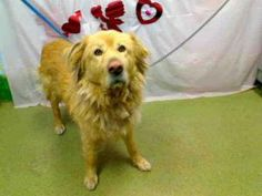 A418392 (SPIKE) URGENT MORENO VALLEY ANIMAL SHELTER is an adoptable Golden Retriever Dog in Moreno Valley, CA.  If you are in the north San Diego County area and would like to become an approved foste...