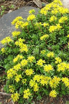 Sedum floriferum 'Weihenstephaner Gold' (Stonecrop) - Perennial - Zones 3-9, Height 4-6 in. A favorite among the groundcover sedums, this one is covered in canary yellow star-shaped flowers in late spring. Tough and easy to grow, it survives in just about any sunny location and spreads slowly to form a lustrous green groundcover.