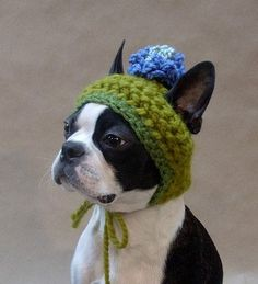 Boston Terrier with a pompom hat. Officially adorable.